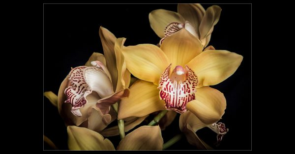 Golden Orchid