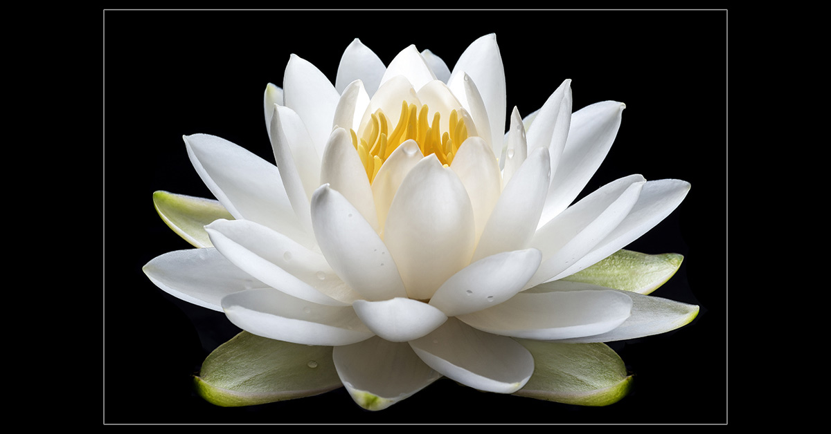 Water Lily Blossom