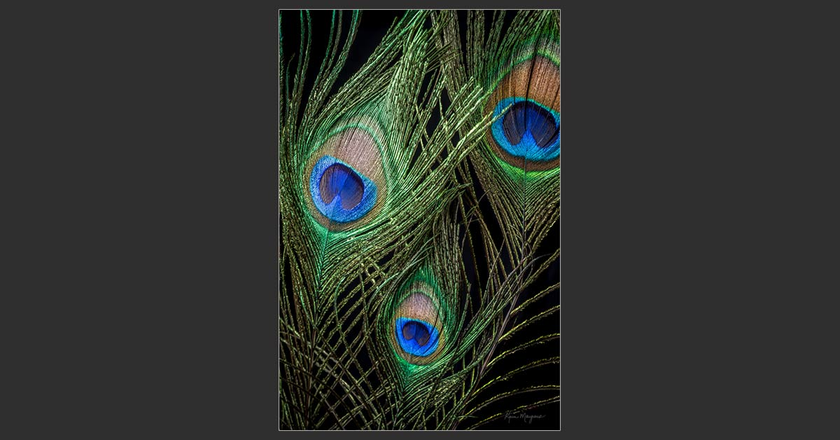 """Peacock Feathers"""