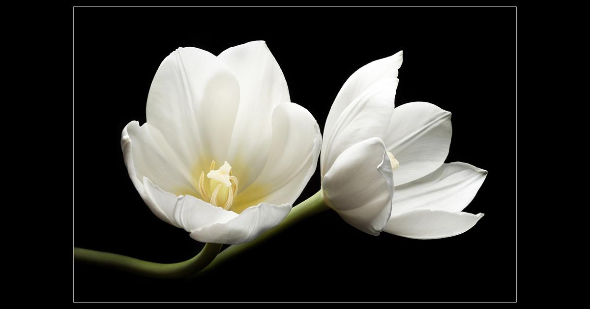 Two White Tulips